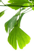 Ginkgo biloba green leaf isolated on white background — Stock Photo