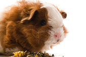 Guinea pig isolated on the white background — Stock Photo