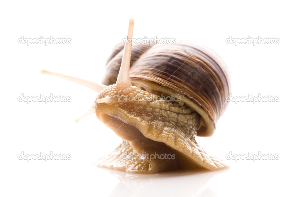 Snail. animal isolated on the white background — Stock Photo #4648006