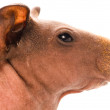 Stock Photo: Skinny guinepig