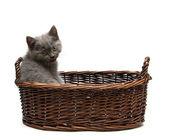 котенок показываю язык — Стоковое фото