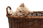 Beautiful Lilac Kitten In A Basket — Stock Photo