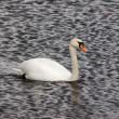 Stock Photo: River swan