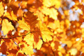Branches with yellow leaves — Stock Photo