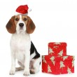Beagle Puppy with Santa hat and with Christmas gifts — Stock Photo