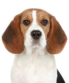 Beagle puppy portrait — Stock Photo