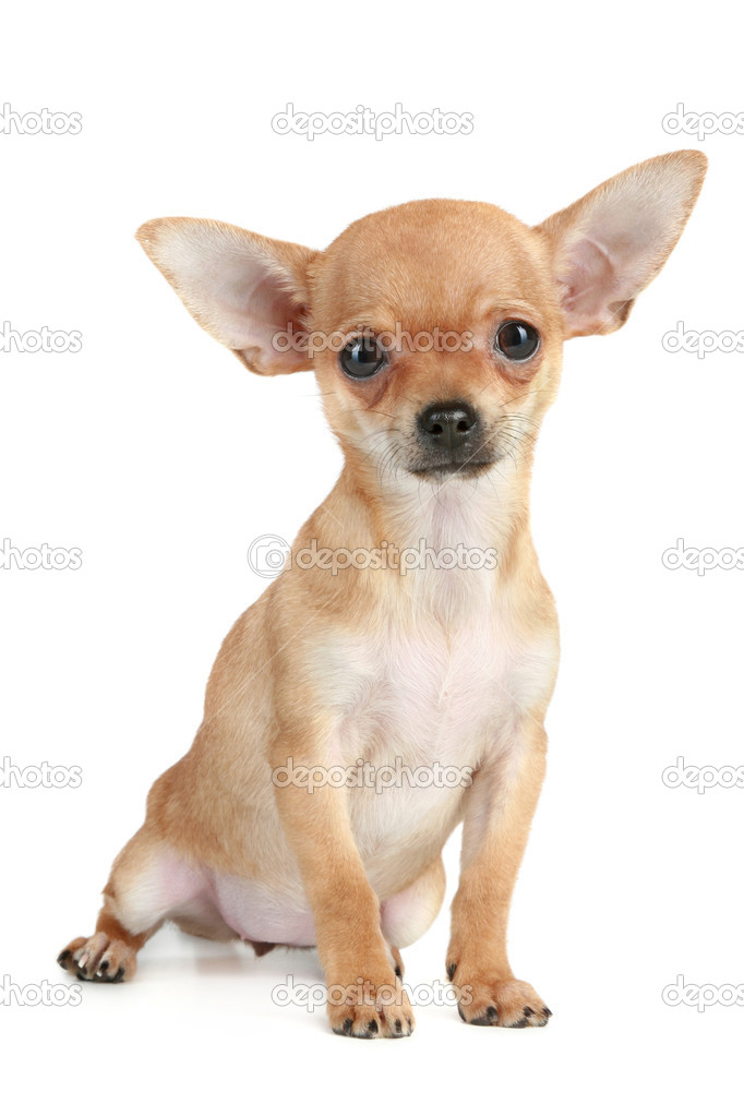 Funny puppy chihuahua sits on a white background  Stock Photo #4153684