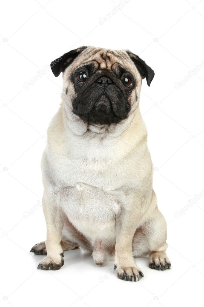 Funny pug puppy sitting on a white background stock image