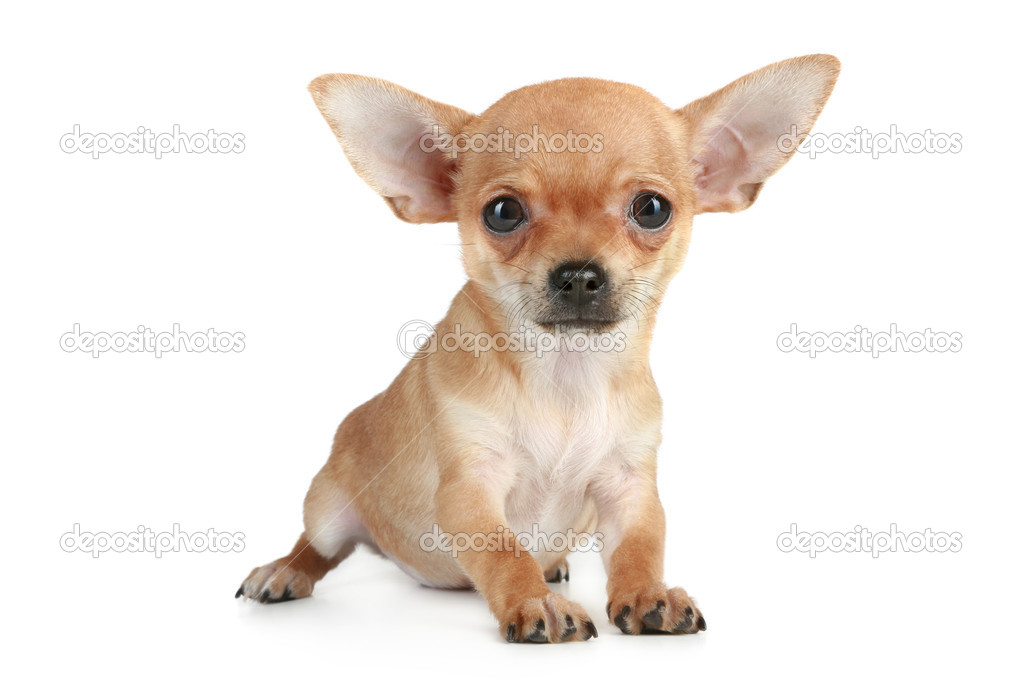 Funny puppy chihuahua on a white background  Stock Photo #4193154