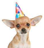 Chihuahua puppy in party hat — Stock Photo