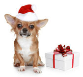 Chihuahua in christmas hat and with gift — Stock Photo