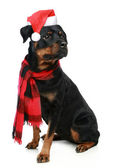 Rottweiler in red christmas cap on a white background — Stock Photo
