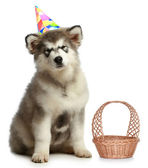 Alaskan malamute in party hat — Stock Photo