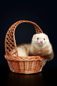 Funny albino ferret in wattled basket — Stock Photo