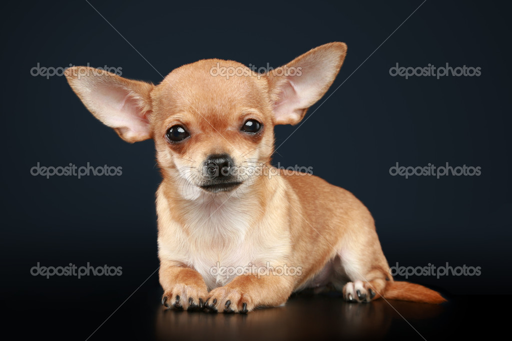 Chihuahua puppy lies on a dark background — Stock Photo #4407375
