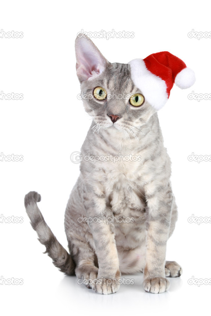 Devon Rex cat in xmas red hat on a white background — Stock Photo #4407386