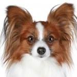 Papillon dog close-up portrait — Stock Photo
