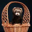 Ferret in wattled basket - Stock Photo
