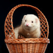 Funny albino ferret in wattled basket - Stock Photo
