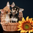 Two beautiful chihuahua puppy in wattled basket — Stock Photo