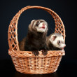 Two Ferrets in wattled basket - Stock Photo