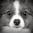Close-up portrait of a papillon breed dog — Stock Photo