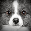 Stock Photo: Close-up portrait of a papillon breed dog