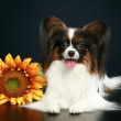 Papillon breed dog with sunflower — Stock Photo