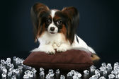 Beautiful dog breeds papillon lies among crystals — Stock Photo