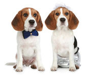 Groom and bride (beagle dogs) — Stock Photo