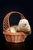 Funny albino ferret in wattled basket — Stock Photo