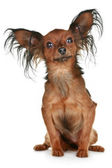 Russian long-haired toy terrier breed dog — Stock Photo