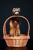Ferret in wattled basket — Stock Photo