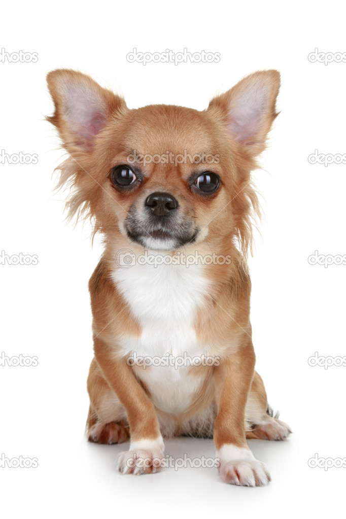 Brown long-haired chihuahua puppy | Stock Photo © FotoJagodka ...