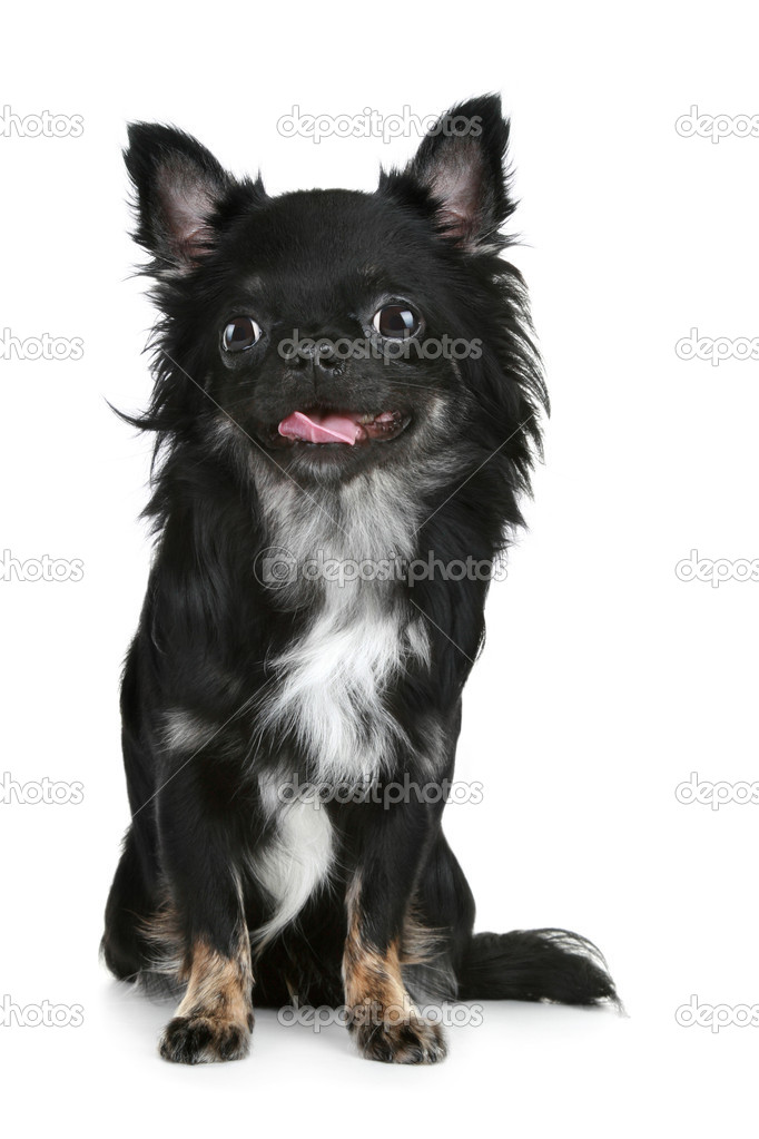 Black long-haired chihuahua puppy | Stock Photo © FotoJagodka ...