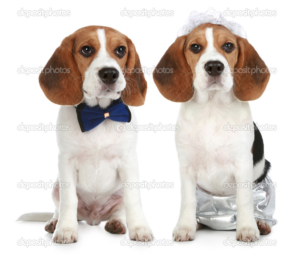 Groom and bride (beagle dogs on a white background) — Stock Photo #4440978