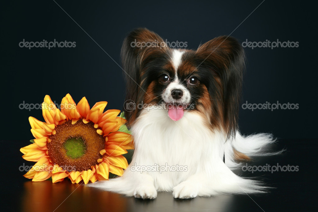 Papillon breed dog with sunflower on a dark-blue background — Stock Photo #4444894
