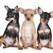 Three funny chihuahua puppy — Stock Photo