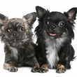 Two long-haired chihuahua dog - Stock Photo