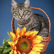Maine coon cat sits in basket with sunflower - Stockfoto