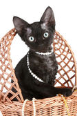 Devon Rex breed kitten in wicker basket — Zdjęcie stockowe