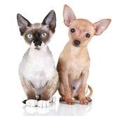 Toy terrier puppy and Devon rex cat — Stock Photo