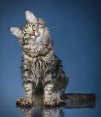 Maine coon kot na ciemnym niebieskim tle — Zdjęcie stockowe