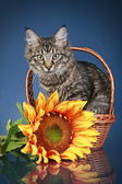 Maine coon cat sits in basket with sunflower — Stock Photo