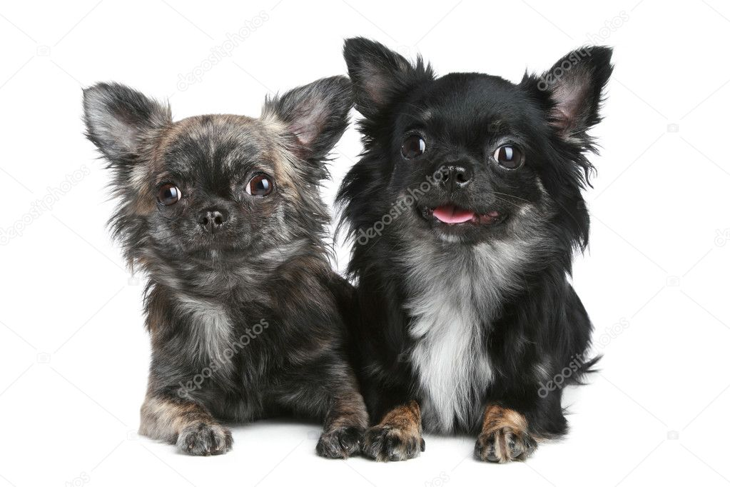 Two long-haired chihuahua dog | Stock Photo © FotoJagodka #4526830