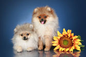 Spitz Puppies (5 months) with sunflower — Stock Photo