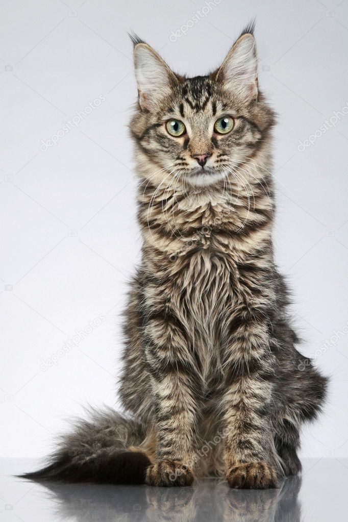 maine coon cat sitting on a grey background studio shot stock photo fotojagodka 4639768. Black Bedroom Furniture Sets. Home Design Ideas