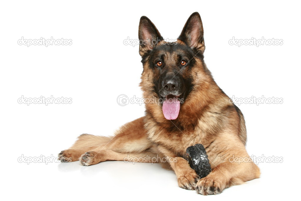 German Shepherd dog with a toy on a white background — Stock Photo #4639776