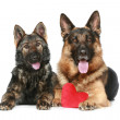 Two Germshepherd dogs with red Valentine heart — Stock Photo #4661912