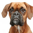 German boxer close-up portrait — Stock Photo